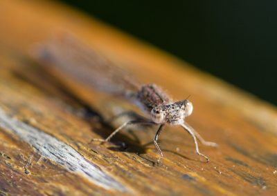 Libelle