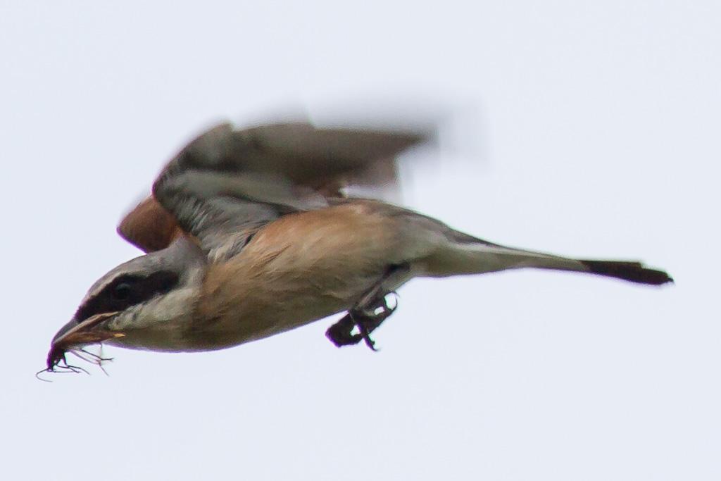 fliegender Neuntöter