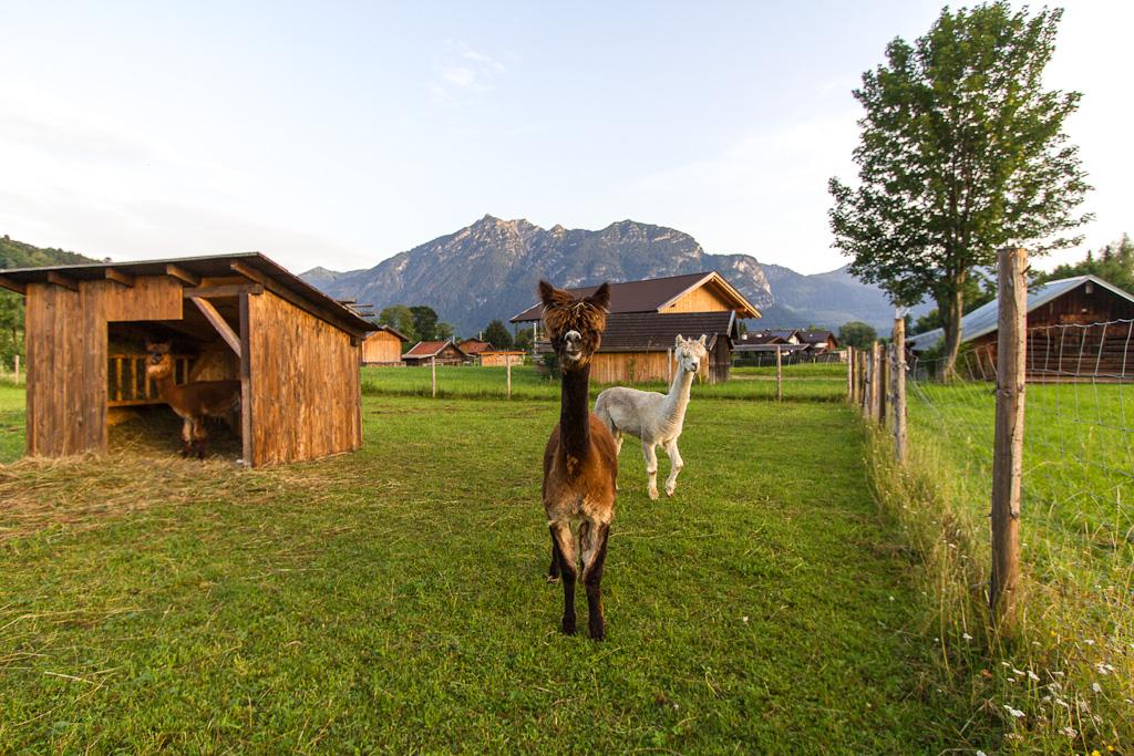 Lamas in Garmisch